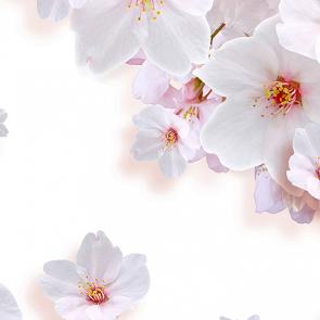 Цветы вишни на белом