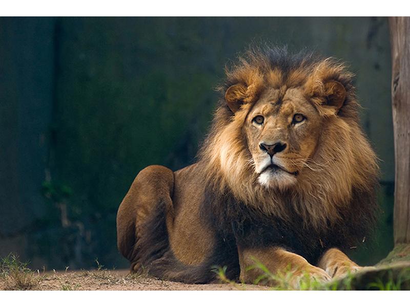Африканский лев 2424