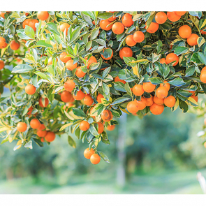 Апельсиновый край 322552058
