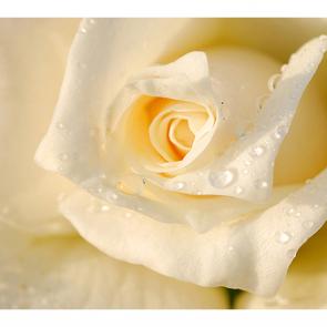 Белая роза 2