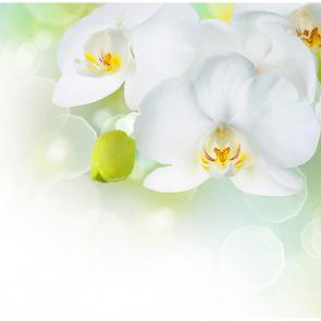 Белые орхидеи 3