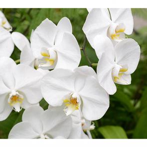 Белые орхидеи 2