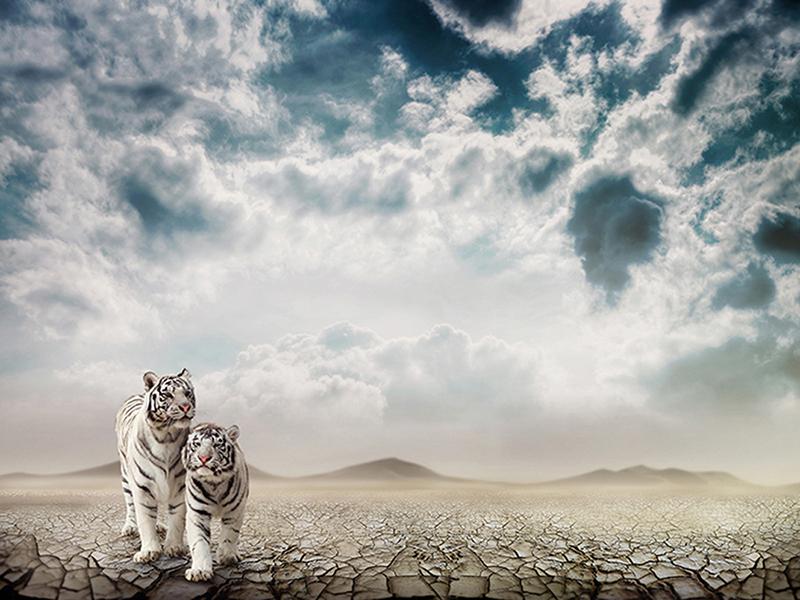 Белые тигрята 2448