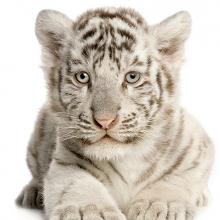 Белый тигренок