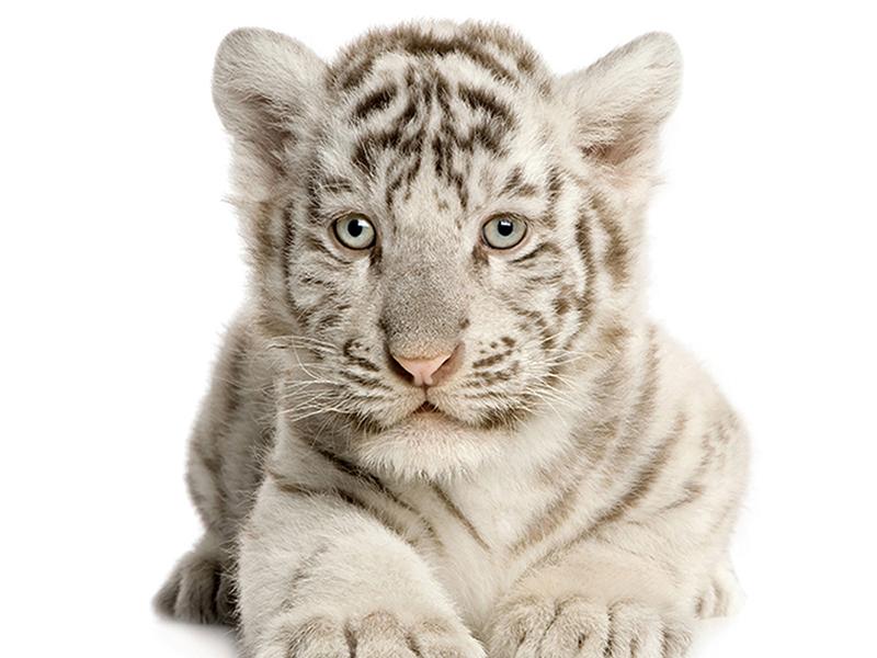 Белый тигренок 2449