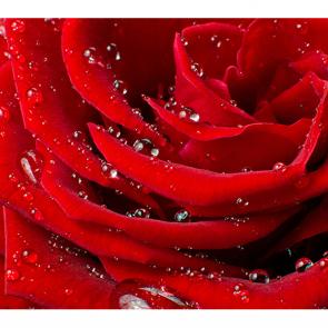 Блеск розы