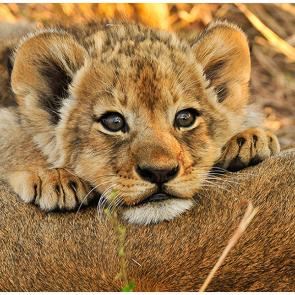 Детство львенка