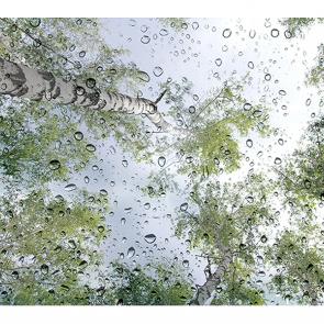 Березы в дождливый день
