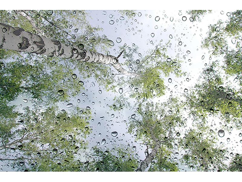 Березы в дождливый день 1754