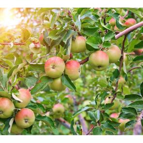 Еда фрукты 11108