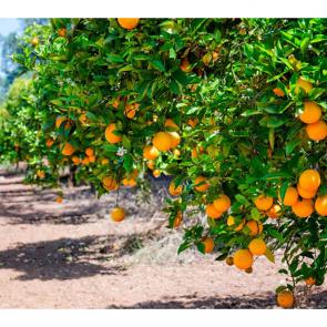 Еда фрукты 14737