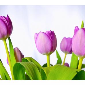 Фиолетовые тюльпаны 2