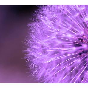 Фиолетовый одуванчик