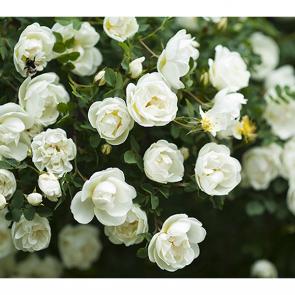 Куст белой розы