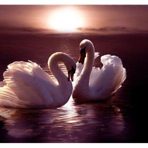 Лебеди 5541