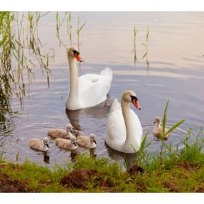 Лебеди 5542