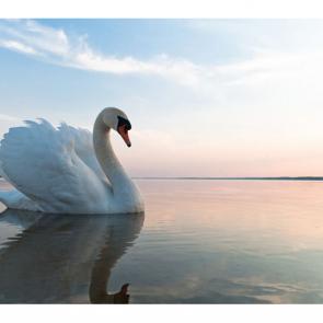 Лебеди 5543