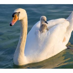 Лебеди 5544