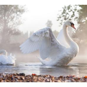 Лебеди 5546
