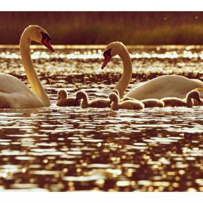 Лебеди 5550