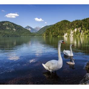 Лебеди 5551
