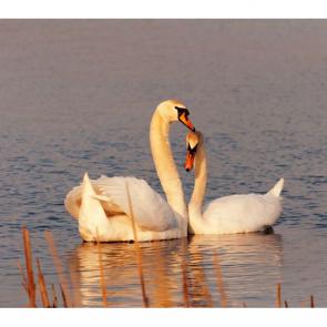 Лебеди 5553