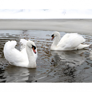Лебеди 5554