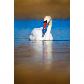 Лебеди 5557