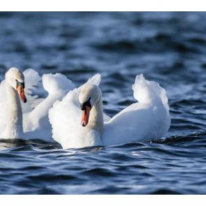 Лебеди 5558