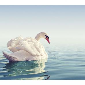 Лебеди 5559