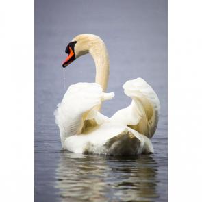 Лебеди 5563