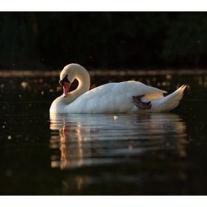 Лебеди 5564