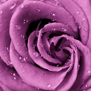 Лиловая роза 2