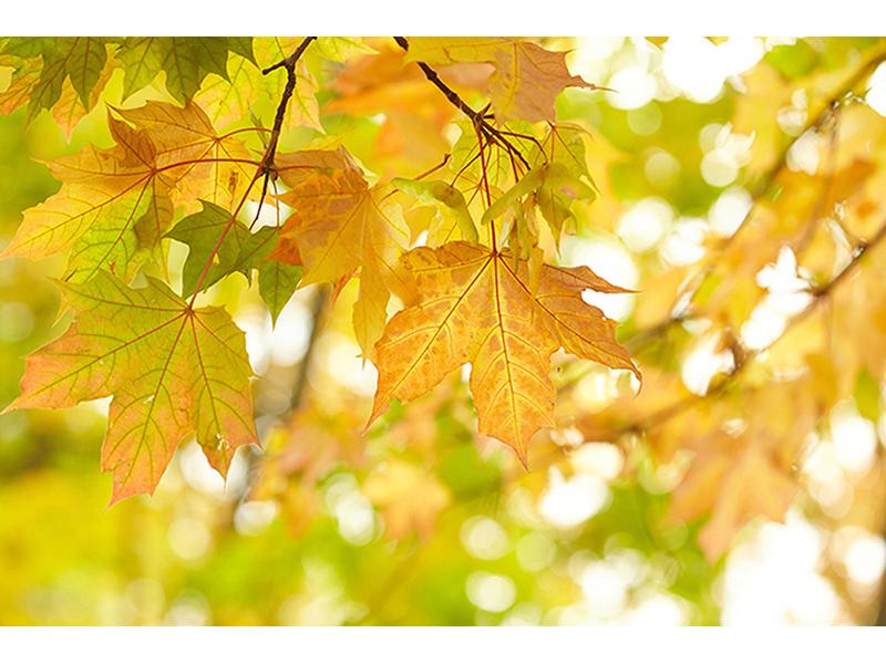 Листья клена 1567