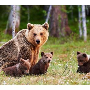 Медведи 5699