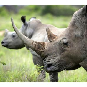 Носорог 5713