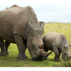 Носорог 5714