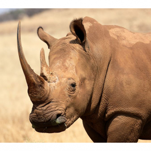 Носорог 5715