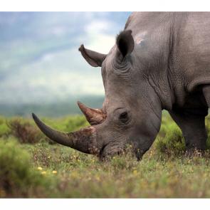 Носорог 5716