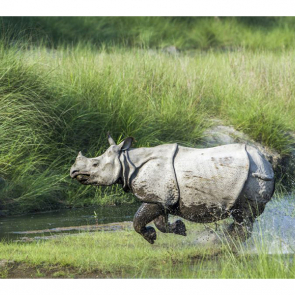 Носорог 5719