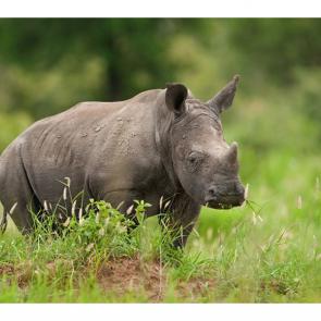 Носорог 5722