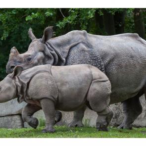 Носорог 5723