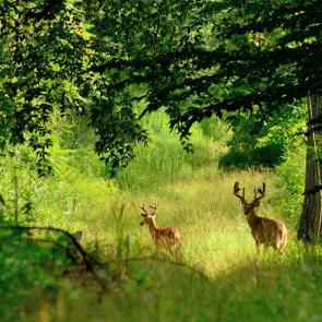 Олени в лесу 5727