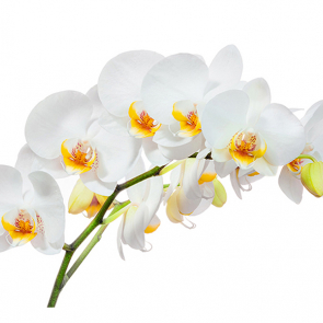 Орхидея на белом 2