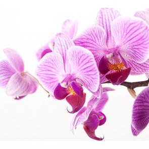 Орхидея на белом