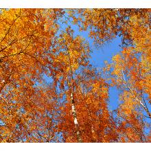 Осенние березы