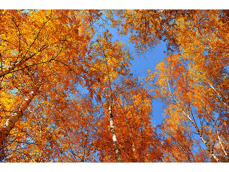 Осенние березы 1400
