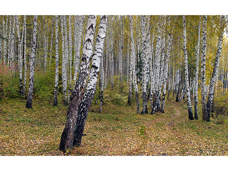Осенняя березовая роща 1389