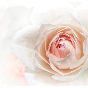 Роза в макро