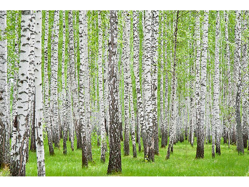 Березовый лес 1212
